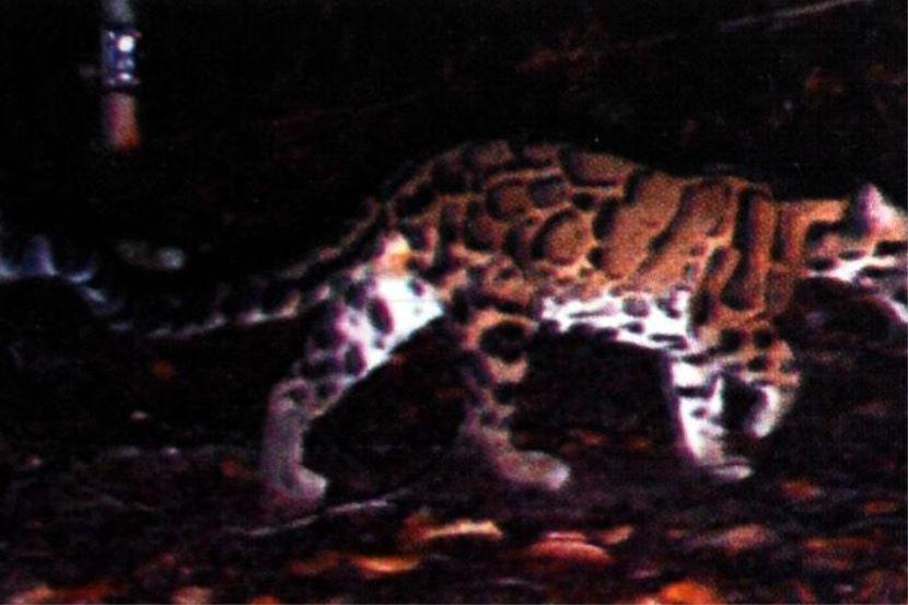 Deko Rumah Kuarters Baik Harimau Dahan Merayau Di Kuarters Hospital Gua Musang Semasa