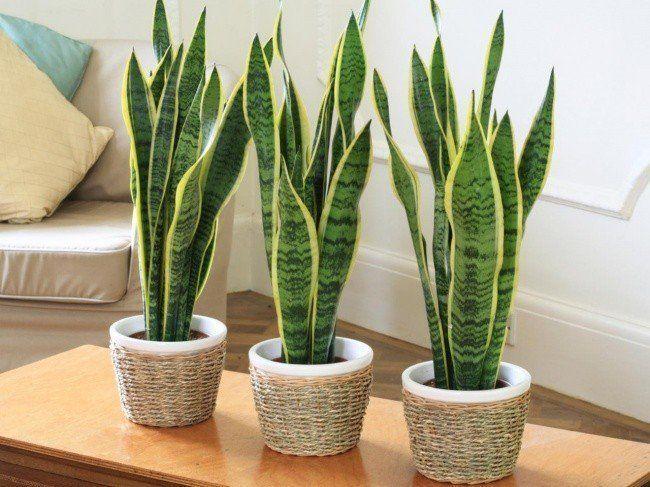 Hiasan Dalaman Office Bernilai 12 Jenis Pokok Yang Sesuai Diletakkan Di Dalam Rumah Dan Pejabat