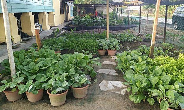 Hiasan Halaman Rumah Kampung Bermanfaat Halaman Jadi Kebun Sayur Perak Utusan Line