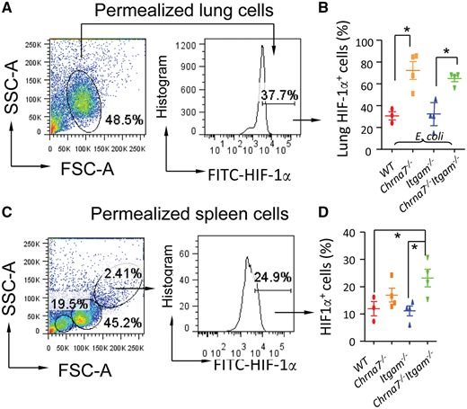 Effect of double knockout of Chrna7 and Itgam on HIF 1α expression in lung cells