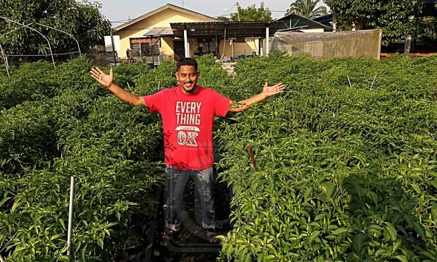 Pelan Rumah Kebun Berguna Pendapatan Lumayan Cili Centil Pertanian Utusan Line