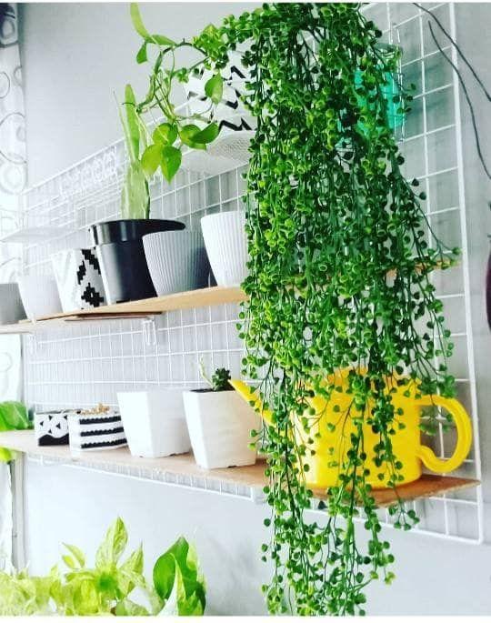 Cara Untuk Hiasan Dalam Rumah Power Macam Mana Wanita Ini Boleh Tanam 30 Pokok Berpasu Dalam Rumah