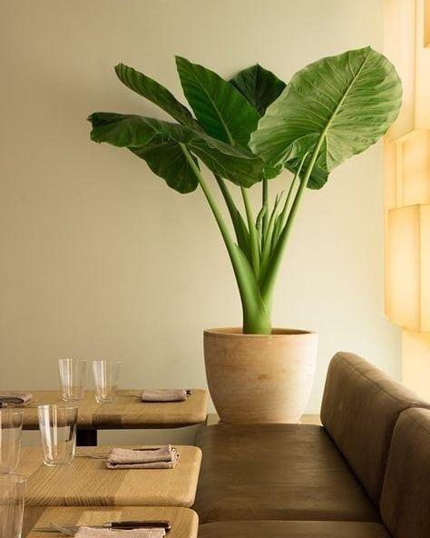 Giant Taro atau Elephants Ear Plant atau Keladi Telinga Gajah atau Giant Alocasia adalah pokok