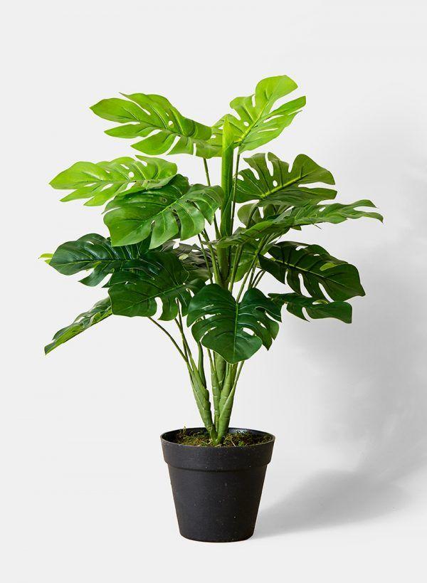 Menurut sumber pohon ini bisa bertahan selama bertahun tahun jika dijaga dengan rapi Hanya perlu siram secara berkala serta dapat cahaya matahari yang
